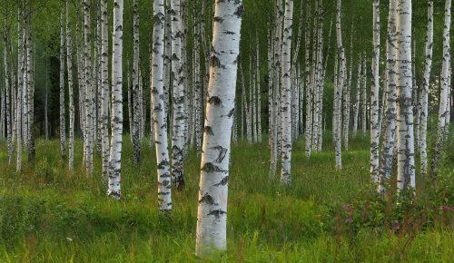 birketræer til fastelavnsris